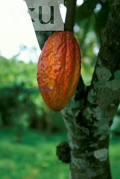 Cocoa Fruit Pod, Steruliaceae. (Theobroma cacao) Tobago
