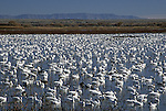 Snow Geese at Bosque del Apache, New Mexico, USA