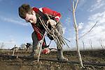Foto: VidiPhoto<br /> <br /> DRIEL – Personeel van Combinatie Mauritz Boomkwekerij moet maandag diep bukken om 10.000 jonge Noorse esdoorns boven de knop af te knippen. Normaal gesproken gebeurt dat met een soort hydrolische hakselaar en worden de afgeknipte takken direct versnipperd. Omdat door de hevige regenval van de afgelopen maanden de bovengrond te nat is, moet er met de hand electrisch geknipt worden. Dat kost extra tijd en mankracht. De jonge planten worden boven de oculatieknop afgeknipt, zodat alle groeikracht zich concentreert op de knop. Dit zogenoemde 'afzetten' van de oculaties kan alleen als het niet vriest overdag. Combinatie Mauritz heeft 50.000 oculaties, verspreid over diverse soorten en percelen. De bomen zijn voornamelijk bestemd voor de export en worden in heel Europa verkocht.