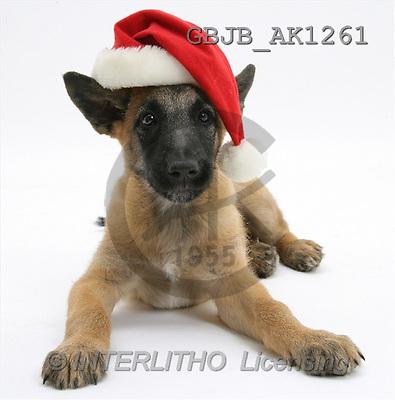 Kim, CHRISTMAS ANIMALS, photos, Belgian Shepherd Dog puppies, Antar, 10 weeks old, wearing a Father Christmas hat., shepherd puppies, santa(GBJBAK1261,#XA#) stickers
