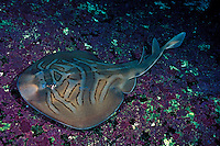 The Eastern Fiddler Ray, Trygonorhina sp, lays golden egg cases that can hold two or three embryos.  Australia.