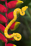 Eyelash Viper Snake, Bothriechis schlegelii, modified scales over the eyes that look much like eyelashes Costa Rica, arboreal, prehensile tail, nocturnal, yellow colouring, on red helicona flower, jungle, .Central America....