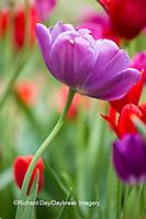63821-22901 Purple and red tulips, Cantigny Park, Wheaton, IL