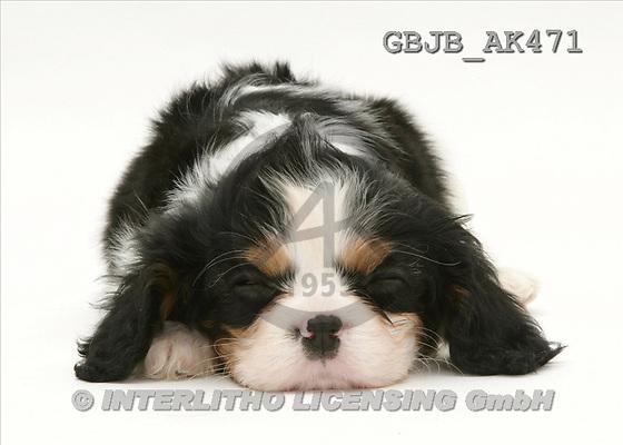 Kim, ANIMALS, fondless, photos, puppies, sleeping(GBJBAK471,#A#) Tiere ohne Fond, animales sind fondo
