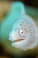 Geometric moray eel, Gymnothorax griseus, Eilat, Red Sea, Portrait, underwater