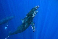 humpback whales, mother, calf, and escort, Megaptera novaeangliae, Big Island, Hawaii, Pacific Ocean