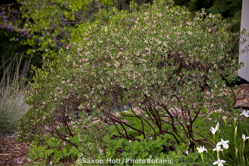 Arctostaphylos densiflora, manzanita shrub in drought tolerant spring California native plant garden