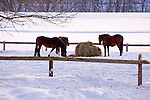 Horses Enjoying Some Hay on a Snowy Winter Day in New Hampshire