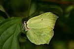 Brimstone Butterfly, Female, Gonepteryx rhamni, Kemsing Down, Kent Wildlife Trust Nature Reserve, UK, resting on leaf, underside of wings