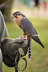 Old Westbury, New York, U.S. - August 23, 2014 - APONE the Aplomado Falcon (Falco femoralis) is from WINORR, Wildlife in Need of Rescue and Rehabilitation, at the 54th Annual Long Island Scottish Festival and Highland Games, co-hosted by L. I. Scottish Clan MacDuff, at Old Westbury Gardens. WINORR is run by the Horvaths, licensed animal rehabilitators in North Massapequa.