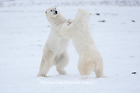 01874-11813 Polar Bears (Ursus maritimus) sparring / fighting in snow, Churchill Wildlife Management Area, Churchill, MB Canada