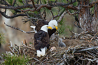 Bald Eagle Nest (Haliaeetus leucocephalus)--adults with several week old eaglet in tall ponderosa pine tree.  Oregon.  April.