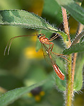 A Fascinating Looking Creature, Thread Waisted Wasp, Short-tailed Ichneumon, Ophion nigrovarius