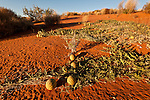 The paddy melon (Cucumis myriocarpus) in the red sand dunes of the outback. It is a prostrate or climbing annual herb native to southern Africa and is a weed in Australia.