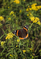 Red Admiral Butterfly (Vanessa atalanta) feeds on nectar from Goldenrod flowers (Solidago sp.) in September, Rondeau Provincial Park, southwestern Ontario, Canada.  As goildenrod pollen is too sticky and heavy to be dispersed on the wind, the plant relies for pollination on the numerous insects who feast on its pollen and/or nector.
