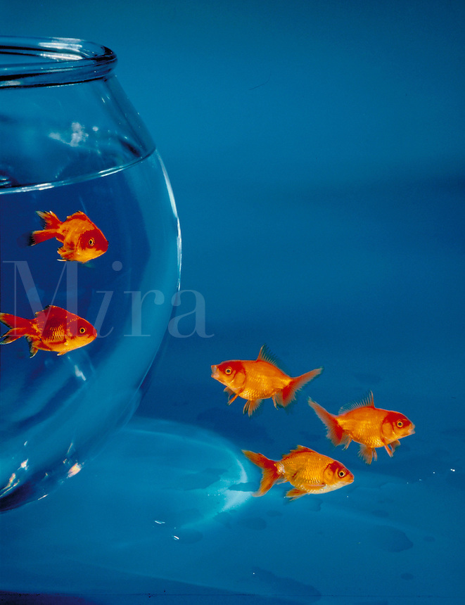 Freedom, Againt the grain, Go your own way. Conceptual photo illustration with some goldfish inside a bowl, and others outside. humor.