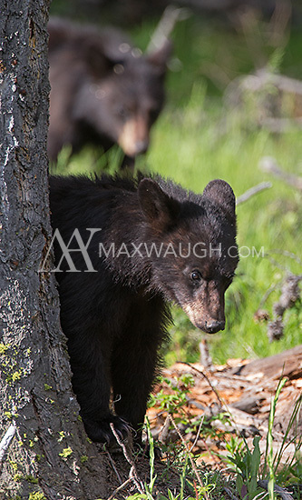 "The black bear sow nicknamed ""Rosie"" was seen frequently with her three yearling cubs throughout the spring."