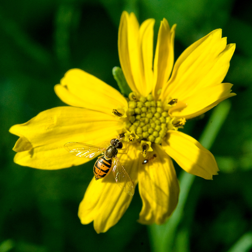 A bee pollinates a yellow flower in a garden in Rockville Centre, New York.