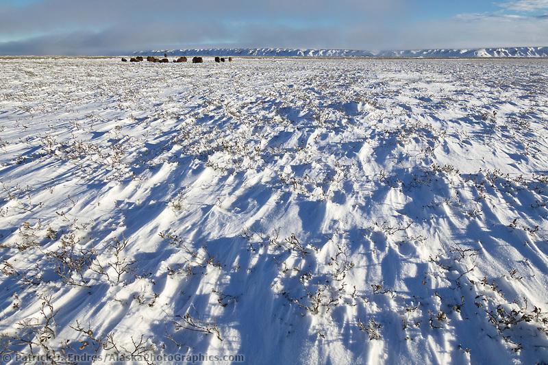 Muskoxen herd, wind blown snow, coastal plains of Alaska's Arctic,