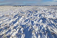 Muskoxen herd, wind blown snow, coastal plains of Alaska's Arctic,
