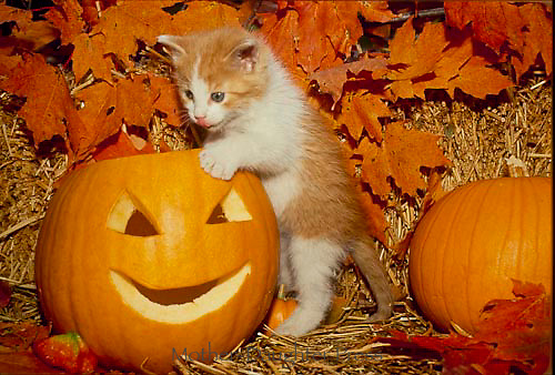 Adorable yellow and white kitten explores carved pumpkin for Halloween