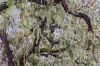 Lace Lichen, or Ramalina menziesii on California Oak tree, Rush Creek Open Space, Marin County