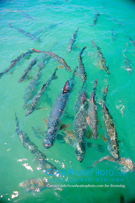 tarpons, .Megalops atlanticus, .Islamorada, Florida Keys National .Marine Sanctuary (Atlantic)