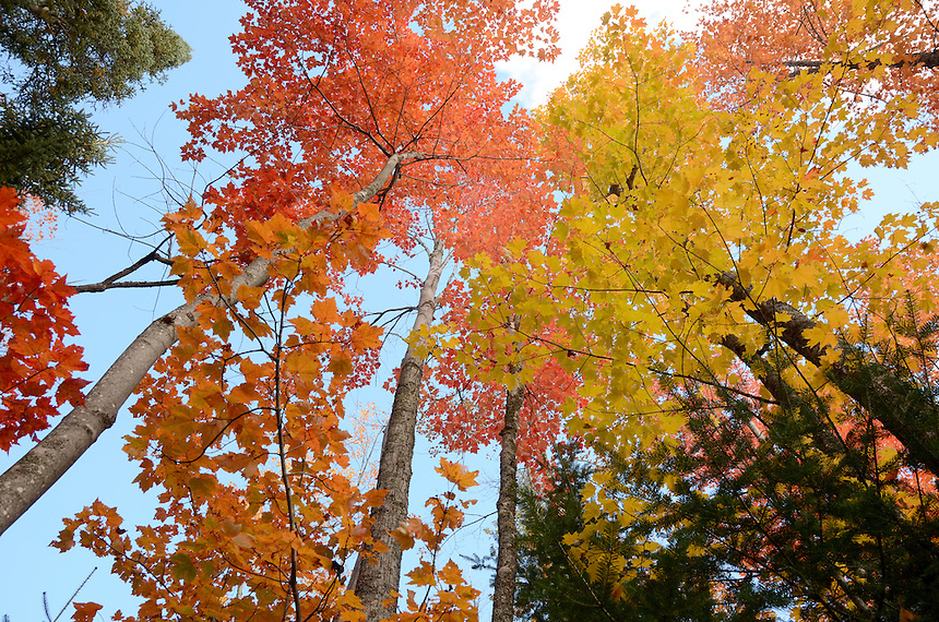 The sun illuminating the trees overhead to create a brilliant display. Marquette, MI