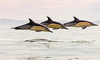 long beaked common dolphins, Delphinus capensis, leaping, South Africa