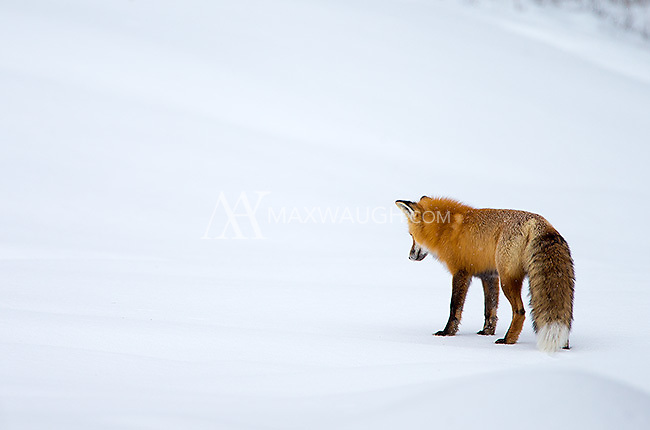 This fox is using its keen sense of hearing to detect prey movement beneath the snow.