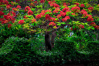 Royal Poinciana with red flowers. National Tropical Botanical Garden. Kauai, Hawaii
