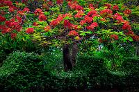 Royal Poinciana with red flowers. National Tropical Botanical Garden. Kauai, Hawaii
