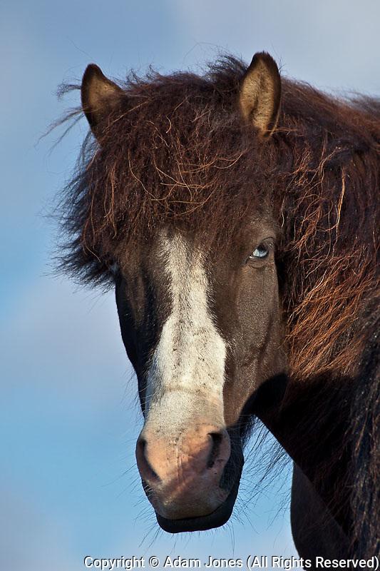 Icelandic horse, Iceland