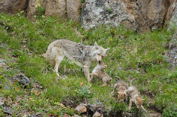 Wild Coyotes (Canis latrans)--mother with young pups--one pup is trying to get mom to regurgitate food.  Western U.S., June.