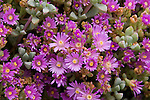 Iceplant, Lampranthus piquetbergensis