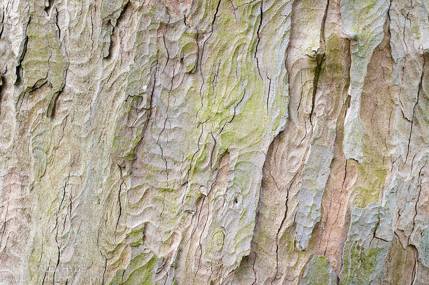 Sycamore bark {Acer pseudoplatanus} on a mature tree. Peak District National Park, Derbshire, UK. April.