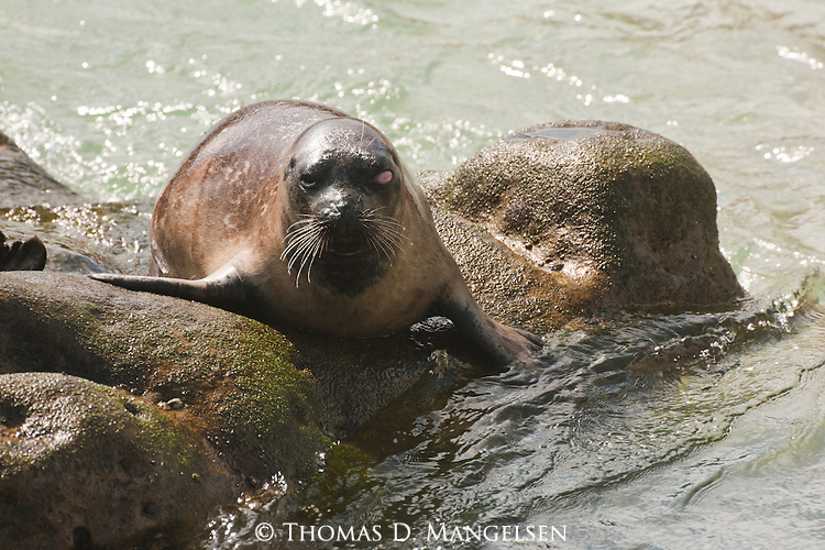 A one eyed harbor seal lays on rocks on the children's pool beach in La Jolla, California.