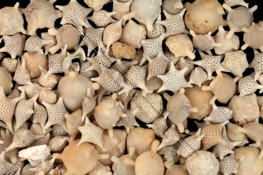 Star sand is the  exoskeleton of foraminifers  found on beaches of the Indo-Pacific.  These are protozoa that belong to the Foraminifera family. The shell is made of calcium carbonate, when they die, their star shaped exoskeleton washes up on the beaches in enormous numbers. Magnification is 1.5x at 35mm..