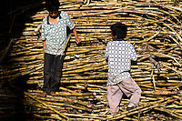 Colombian kids play on a pile of sugar cane stalks during the processing of panela in a rural sugar cane mill (trapiche) in San Agustín, Colombia, 18 April 2004. Panela, a solid block of raw, unrefined sugar, is made by cooking and evaporation of the sugar cane juice into a golden, sticky syrup which is then poured into the wooden molds and allowed to solidify. Having the taste like a cross between molasses and brown sugar, panela is served as a hot or cold infusion (aguapanela). Due to the large amounts of proteins, vitamins and minerals and thus, panela is believed to have healing powers. Cheaper than sugar, it is consumed by the majority of Colombians and it is a major source of calories for children from families with low socioeconomic status. With more than 70,000 farms that cultivate sugarcane for mills, panela production is an important economic activity in the Colombian countryside, employing around 350,000 people and being the second largest source of jobs after agricultural coffee production.