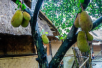 Nusa Tenggara, Lombok, Sade. Sade village. The jak fruit is a close relative to breadfruit, and can be very large. It is eatable and tastes quite good.