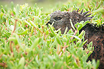 This iguana was resting in the sedum of the station beach in puerto ayora Galapagos