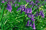 AE2KP0 Bluebell wildflowers