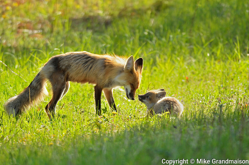 Red foxes in meadow. Vixen and pup<br /> Whiteshell Provincial Park<br /> Manitoba<br /> Canada