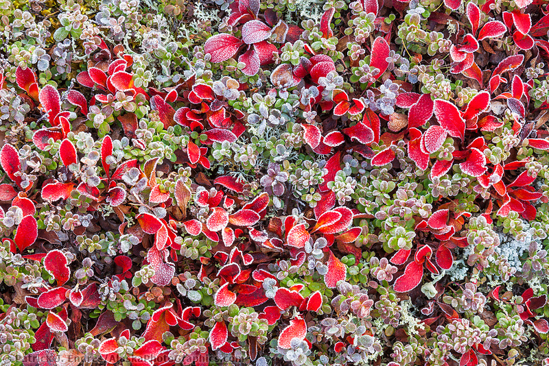 Frost on alpine bearberry, willow, and tundra vegetation, Denali National Park, Interior, Alaska.