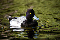 Lesser Scaup on Water