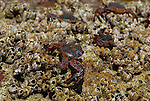 Sally light foot crabs and barnacles