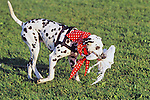 "Dalmation Catching ""rabbit"""