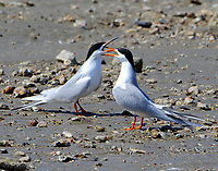 Forster's terns courting