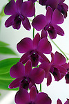 Dark violet Dendrobium