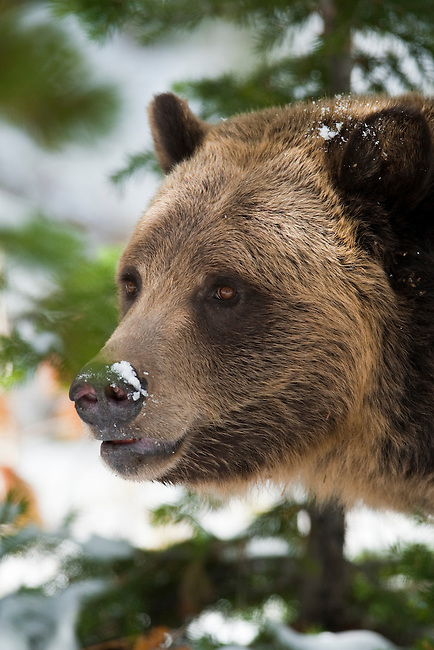A grizzly bear poses for a portrait in Yellowstone National Park, Wyoming, USA, January 10th, 2009.  The bear was foraging for pine nuts.  Photo by Gus Curtis